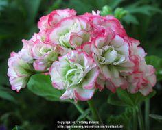Zonal Geranium 'Appleblossom Rosebud' (Pelargonium x hortorum)