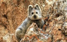 Ili Pika - hasn't been photographed since 1983 and aren't we glad they did?