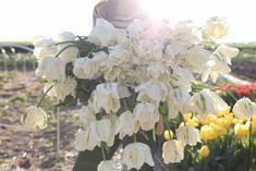 Papouškovité tulipány jsme objevili nedávno a úplně jsme si je na první pohled zamilovali! Kroucené listy dodávají kyticím i záhonům novou texturu. Nejpůvabněji působí i při odkvětu, kdy dorůstají velikosti dlaně. Stačí jich opravdu malinko a vytvoří nádherná efekt. A tulipán Madonna je ze všech papoušků nejkrásnější. Obří květy ivory barvy mají jemné zelené žilkování a nežný zlatý střed. Madonna, Tulips