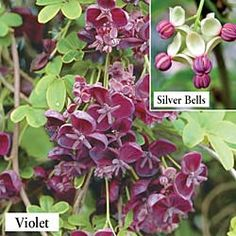 Violet Chocolate Vine - Flowering Vine Plants - Ground Covers and Vines - Gurney's Seed & Nursery