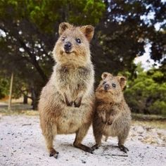 The quokka, otherwise known as the happiest animal in the world, is native to small islands off the coast of Western Australia. The pair of the cuddly critters is captured here by Elisa Detrez  .