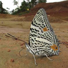 Elegant Beauty: Baeotus aeilus