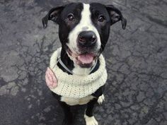 TO BE DESTROYED - 03/18/15 Manhattan Center -P  My name is BRITNEY. My Animal ID # is A1029567. I am a female black and white pit bull mix. The shelter thinks I am about 3 YEARS old.  I came in the shelter as a STRAY on 03/06/2015 from NY 10474, owner surrender reason stated was STRAY. https://www.facebook.com/photo.php?fbid=975347499144796