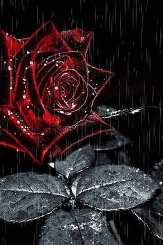 Rose Burgundy rose, drops, rain, animation - Madison Home Flowers Gif, Black Flowers, All Flowers, Pretty Flowers, Red Roses, Black Roses Wallpaper, Flower Wallpaper, Rose Images, Yellow Roses