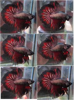 Archived Auction # - Nice Halfmoon male - Ended: Thu Sep 19 2013 Betta Aquarium, Cool Fish, Beta Fish, Halfmoon Betta, Color Palate, Fish Tanks, Animal Pictures, Tattoo Ideas, Cute Animals