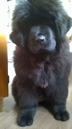 Newfoundland Puppy, King of Helluland Fleur de Soir 1/31/16