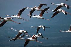 Google Afbeeldingen resultaat voor http://www.focusonnature.com/flamingo_s_france83.jpg