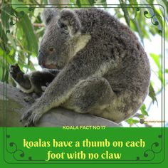 Six thumbs and they can climb and hold on anywhere! Animals Beautiful, Cute Animals, Animal Facts, Amazing Facts, Interesting Stuff, Fun Facts, Applique, Core, September