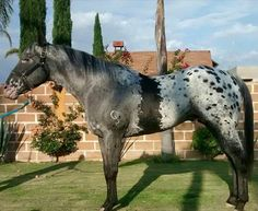 Some kind of an Appaloosa pattern, that dark area around the girth is very unusual, considered a somatic mutation. Most Beautiful Horses, All The Pretty Horses, Animals Beautiful, Rare Horses, Wild Horses, Horse Markings, Appaloosa Horses, Leopard Appaloosa, Majestic Horse