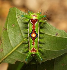 """A bird's-eye view of a Stinging Nettle Slug Caterpillar (Cup Moth, Limacodidae) """"Optimus Prime"""" Pu'er, Yunnan, China Beautiful Bugs, Beautiful Butterflies, Amazing Nature, Cool Insects, Bugs And Insects, Beautiful Creatures, Animals Beautiful, Cool Bugs, Moth Caterpillar"""