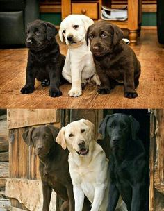 Lab Puppies But I would have 4 and add either a white or silver lab ♡ - A particularly versatile and intelligent dog breed, it is no surprise that the Labrador Retriever is one of America's most beloved pets. Find out why. Cute Puppies, Cute Dogs, Dogs And Puppies, Black Lab Puppies, Labrador Puppies, Silver Lab Puppies, Rescue Puppies, Corgi Puppies, Chihuahua