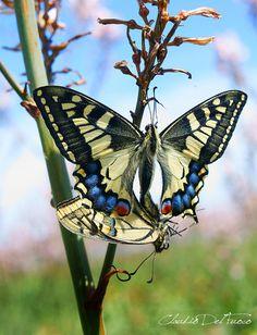 Mating Swallowtails on Asphodelus