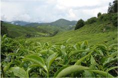 A field of tea plants. White, Green, Oolong, Yellow, Black and Pu-erh teas all come from the camellia sinensis plant and the type of tea is determined by the processing methods used on the plucked leaves.