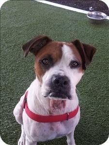 Birmingham, AL - Boxer Mix. Meet Sinatra a Dog for Adoption.