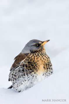 Fieldfare - currently eating chopped apples in my garden