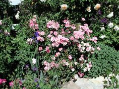'La Marne' growing in Torrance Ca, so can take some heat, also shade tolerant, and a prolific bloomer