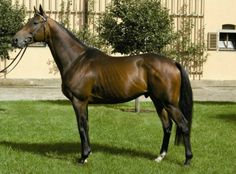 Fiepes Winged  2001 Thoroughbred stallion (Winged Love x Fiepe by Zigeunersohn) Trakehner Verband approved, 2-4 year 12 racecourse starts, including 2 wins and 7 placings highest GAG - 3 year 91kg Winnings 60050.00 € Interesting pedigree for eventers.