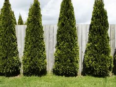 1000 images about privacy trees on pinterest backyard