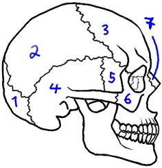 Wondering how to draw a skull in a way that's easy but still looks realistic?<br> Check out this step by step method.