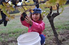Harvesting grapes is hard work but Aspen is up for the challenge.