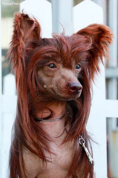 rare chocolate colored chinese crested