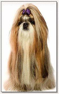 Shih Tzu -Champion BIS Sankara Du Domaine Des Atlantes Fabulous Fakes Full Size Dog Bows February
