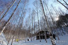 늘씬하게 뻗은 자작나무가 새하얀 속살을 드러내는 환상적인 설경, 강원도 인제 원대리 자작나무숲