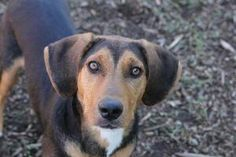 Sophie is an adoptable Hound Dog in Bloomington, IN. All dogs from the Bloomington Animal Shelter are microchipped, have their first round of vaccinations, including de-worming, are tested for heartwo...