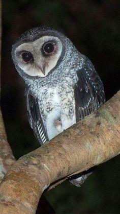 Sooty Owl.. Australia
