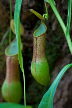 Nepenthes alata - Pitcher Plant. Philippines.
