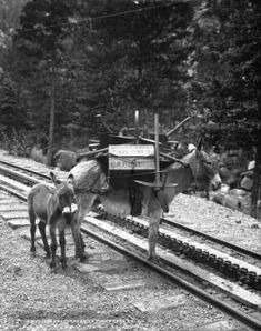 We helped to build Pikes Peak R.R., baby and adult burro, by WH Jackson, ca 1882-1890 :: History Colorado