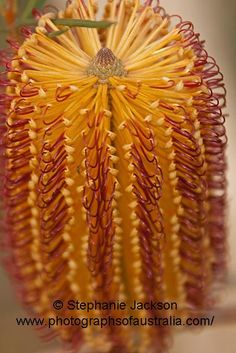 photo of flower of australian native banksia Australian Wildflowers, Australian Native Flowers, Fruit Flowers, Wild Flowers, Tasmania, Exotic Plants, Cactus Plants, Bushes And Shrubs, Wonderful Flowers