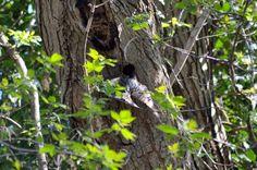wald°sinnen: Wald°Vögel {2} oder Ein Tag in einer alten Esche Alter, Bald Eagle, Nature, Animals, Woodland Forest, Mornings, Nurseries, Animais, Naturaleza