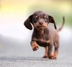 Dachshund puppies make my heart happy Dachshund Funny, Dachshund Puppies, Cute Puppies, Pet Dogs, Dogs And Puppies, Dog Cat, Daschund, Dapple Dachshund, Chihuahua Dogs