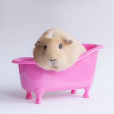 So Many Guinea Pigs So Pretty In Pink Animals And Pets, Baby Animals, Funny Animals, Cute Animals, Cute Hamsters, Chinchillas, Guniea Pig, Baby Guinea Pigs, Cute Piggies