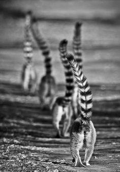 Lemur butts