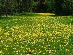 grama amendoim forrageiro de jardim sementes flor para mudas