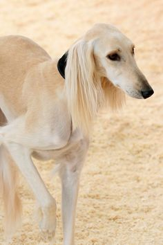 best pictures and photos ideas about saluki dog - oldest dog breeds Top 10 Dog Breeds, Dog Breeds That Dont Shed, Cat Breeds, Beautiful Dogs, Animals Beautiful, I Love Dogs, Cute Dogs, Magyar Agar, Lovely Creatures