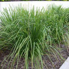 47 best grasses and ground covers images on pinterest grasses au httpbluedaleplantsonlineshopstrappy altavistaventures Images