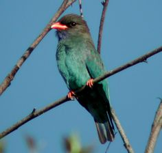 The dollarbird (Eurystomus orientalis), also known as the Oriental dollarbird or dollar roller, is a bird of the roller family, so named because of the distinctive blue coin-shaped spots on its wings. It can be found in south-west Pacific and east Asia from northern Australia to the Japan archipelago and India.
