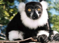 Black and White Ruffed Lemur  Saw joan embry with one on carson years ago.   They purr and love belly scratch, but unlike cats they can stand up while you do it