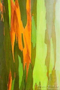 Rainbow Eucalyptus bark (Eucalyptus deglupta - Mindanao Gum), Island of Kauai, Hawaii USA / © Russ Bishop ~ Click image to purchase a print or license