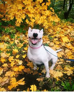 As the weather cools down, warm your heart with these adorable photos of English Bull Terriers celebrating the season. Check out these beautiful fall dog pictures that capture adorable Bull Terriers caught in the act of enjoying the autumn splendor. English Bull Terriers, Bull Terrier Dog, Happy Animals, Cute Animals, Cute Puppies, Dogs And Puppies, Doggies, Cat Dog, Pet Cats