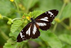 """The Malay Tiger (Danaus affinisis) a butterfly found in tropical Asia. It belongs to the """"Crows and Tigers"""", that is, the danaine group of the Brush-footed butterflies family. This is a highly variable species"""