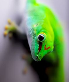 Madagascar giant day gecko (Phelsuma grandis) A large member of the gecko family, grows to over 1 foot in length, has neon colors. Eats insects but is also fond of licking sweet nectar and the juice of overripe fruit.