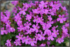 Alpine Rock Garden: Erinus alpinus Alpine Plants, Botanical Gardens, Garden Plants, Succulents, Conservatories, Greenhouses, Rock, Alps, Preserves