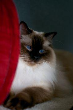 Ragdoll cat Animals Beautiful, Beautiful Cats, Ragdoll Cats, Birman Cat, Ragdoll Siamese, The Animals, Dog Cat, Kittens Cutest, Cats And Kittens