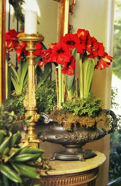 Potted Amaryllis Plants - with moss hanging over low spreading urn