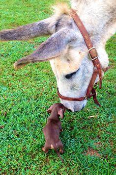 Mini dachshund puppy meets family donkey. So cute!