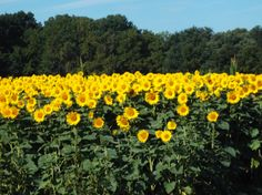 Info on sunflower photo competition here. Ohio Is For Lovers, The Buckeye State, Yellow Springs, Photo Competition, Sunflower Fields, Hiking Trails, Senior Pictures, Cool Art, Waterfall